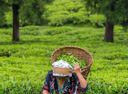 Person picking green tea plant