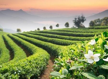Fields of green tea plants
